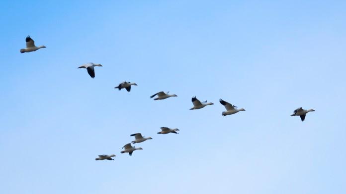 Flock of geese flying